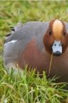 Lezing IVN Grave: Nederland trekvogelland? Buitenhuis bij Kinderboerderij Buiten-gewoon, Beukenlaan 8, 5363 RA Velp