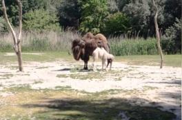 Babykameeltje geboren in ZooParc Overloon en bezoekers zagen het gebeuren
