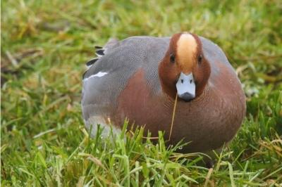 Evenement: Lezing IVN Grave: Nederland trekvogelland?